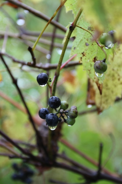 Wild grapes growing on a vine in late summer.