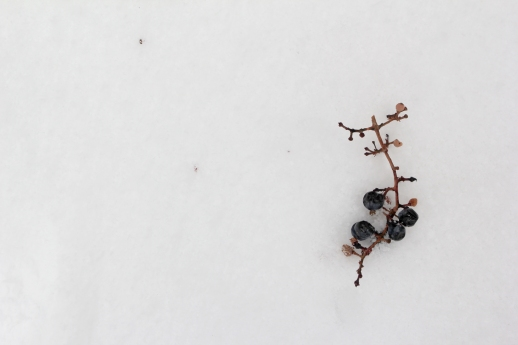 wild grapes in the snow