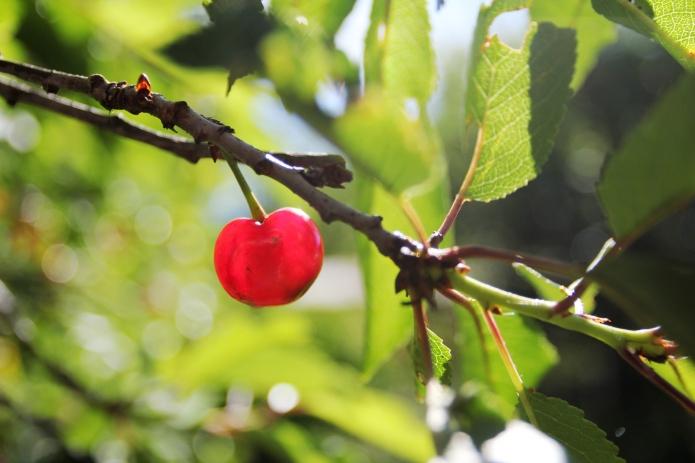 cherries08